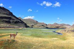 A graceful guanaco and blue lake Royalty Free Stock Photos