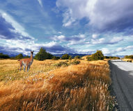 Graceful guanaco on the side of the road Stock Images