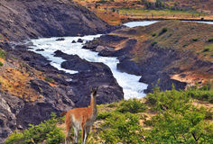 Graceful guanaco stands on bank of the river Stock Image