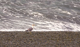 Graceful gull on the shore during a storm Royalty Free Stock Images