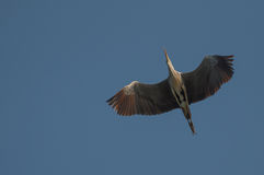 Graceful heron in flight Stock Images