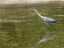 Graceful heron Royalty Free Stock Photo