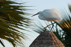 Graceful Heron on the Straw Roof Stock Photos
