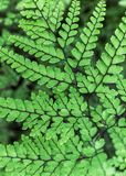 Graceful Himalayan Maidenhair Frond Royalty Free Stock Image