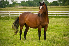 Graceful horse Royalty Free Stock Images