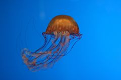 Graceful jellyfish. Orange jellyfish in deep blue water royalty free stock photography