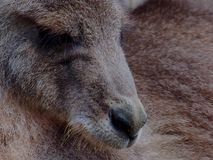 Graceful Laid-Back Relaxed Grey Kangaroo in Perfect Profile. Stock Photography