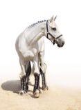 Graceful light grey stallion. In full-length Stock Photos