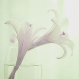 Graceful Lily Royalty Free Stock Photos