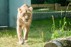 Lioness running on a grass, looking wild, at the zoological park stock photos