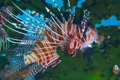 Graceful Lionfish off Padre Burgos, Leyte, Philippines Royalty Free Stock Photo