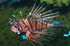Graceful Lionfish off Padre Burgos, Leyte, Philippines. The diving around the small but vibrant town of Padre Burgos, is a real paradise for divers and macro Royalty Free Stock Photography