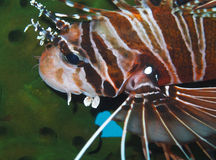 Graceful Lionfish off Padre Burgos, Leyte, Philippines. The diving around the small but vibrant town of Padre Burgos, is a real paradise for divers and macro Stock Photography