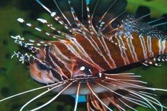 Graceful Lionfish off Padre Burgos, Leyte, Philippines Royalty Free Stock Image