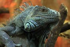 Graceful lizard in a zoo stock photos