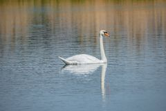 Graceful lonely swan at lake in the Spring morning, Germany royalty free stock photo