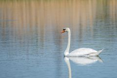 Graceful lonely swan at lake in the Spring morning, Germany stock photos