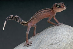 Graceful Madagascar ground gecko / Paroedura gracilis Stock Photography