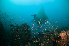 A graceful manta ray. Gliding past a reef alive with fish Stock Photo