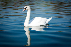 The graceful mute swan Stock Photo