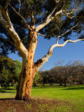 A graceful old australian eucalyt tree Stock Photography