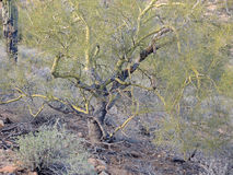 Graceful Palo Verde Tree Stock Photo