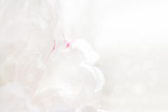 Graceful  pastel peony background, great for greeting, valentine Royalty Free Stock Images