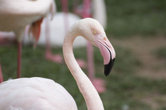 Graceful Pink flamingo Stock Images