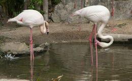 Graceful Pink flamingo Stock Photos