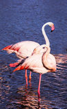 Graceful pink flamingos Royalty Free Stock Photos