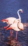 Graceful pink flamingos Royalty Free Stock Photos