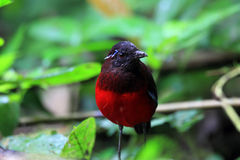 Graceful Pitta Stock Photos