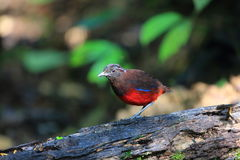 Graceful pitta Royalty Free Stock Image