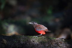 Graceful pitta Royalty Free Stock Photography