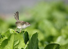 Graceful prinia Royalty Free Stock Photography