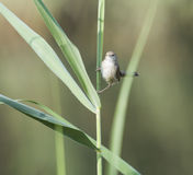 Graceful prinia warbler perched on a blade of grass Royalty Free Stock Image