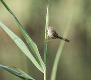 Graceful prinia warbler perched on a blade of grass Royalty Free Stock Photos