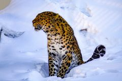 Amur leopard in a zoo, hid and hid in the snow royalty free stock image
