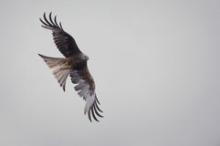 Graceful Red Kite in flight Stock Photos