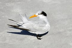 Graceful Royal Tern Royalty Free Stock Photos