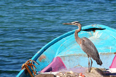 A graceful sea bird heron rests in a blue fishing boat with fishing nets on Sea of Cortez in Mexico. A graceful sea bird heron rests in a blue fishing boat with Royalty Free Stock Photography