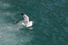 Sea gull on the waves royalty free stock image