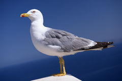 Graceful Seagull Royalty Free Stock Photos