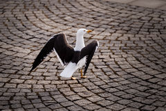Graceful Seagull Walking on Stockholm Cobbled Street Royalty Free Stock Photography