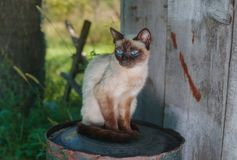 Siamese cat sitting on a rusty cask in summer garden. Graceful Siamese cat sitting on a rusty cask in summer garden Royalty Free Stock Image