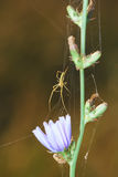 Graceful spider lat. Araneae have woven a web on the chicory flower lat. Cichorium Stock Images