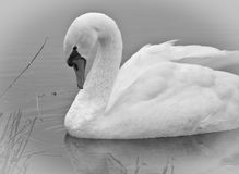 Graceful Swan. Elegant swan by the edge of a quiet lake Stock Images