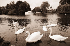 Graceful swan Stock Images