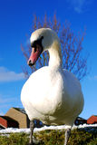 Graceful swan with blue sky Royalty Free Stock Images