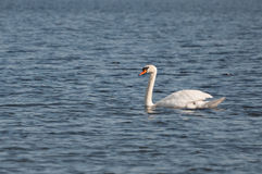 Graceful swan on the blue water surface Stock Image